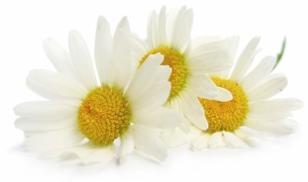 flower-of-feverfew-plant.jpg