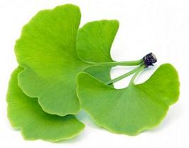 leaves-of-ginkgo-biloba.jpg