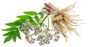 photo-of-valerian-plant.jpg