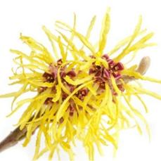 witch-hazel-flower.jpg