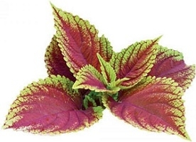 Photo of Forskolin Leaves